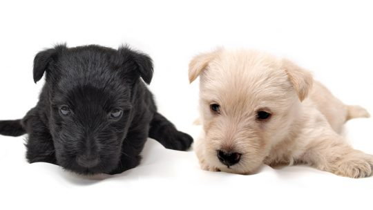 Scottish Terrier chiot